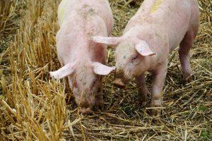 Pig Breeder and horse Semen
